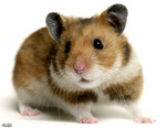hamster Avatar